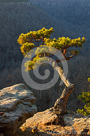 Free Pine Tree On Cliff Edge Stock Images - 50392504