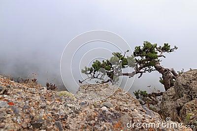Pine tree one