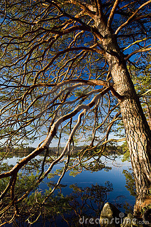 Pine tree over a lake