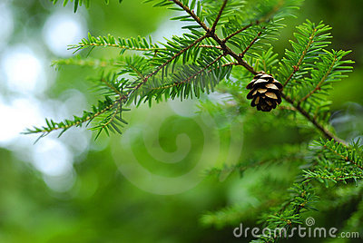 Pine Tree Pine Cone