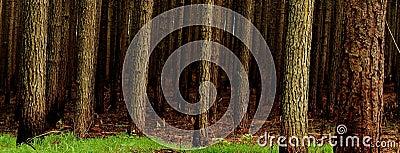 Pine tree Plantation