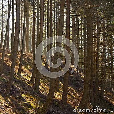 Pine Tree Plantation - Wales - United Kingdom