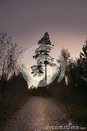 Pine tree on purple sky