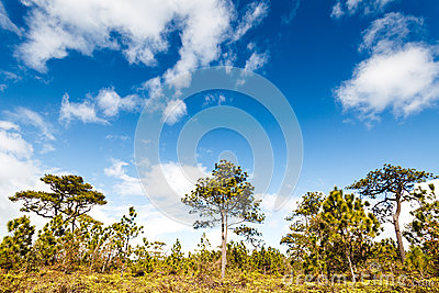 Pine tree in rain forest