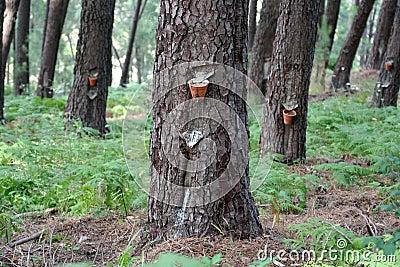 Pine-tree resin extraction