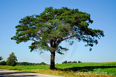 Pine tree by the road