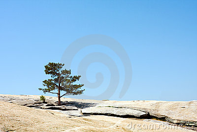 Pine tree on the rock