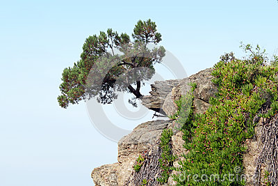 Pine tree on a rock