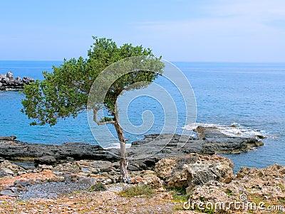 A pine tree on a seashore