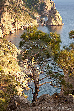 Pine tree on the seaside