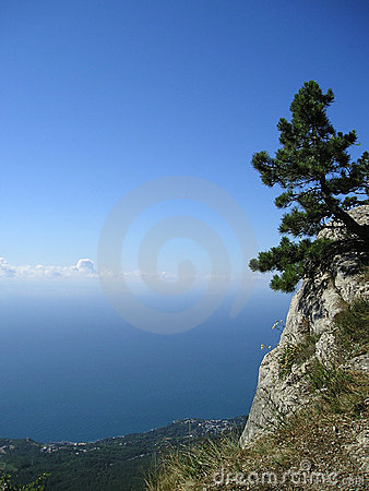 Pine tree singled out on the blue sky