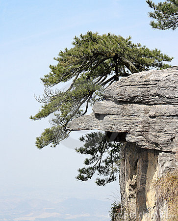 Pine tree stand erect on the huge rock