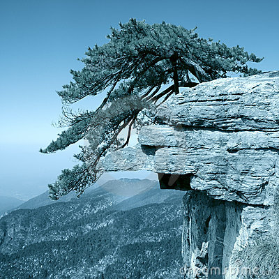 Pine tree stand towering on the cliff