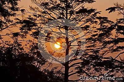 Pine tree in the sunrise