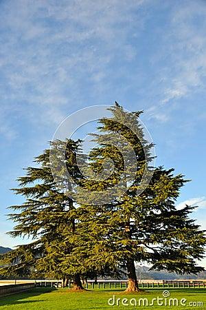 Pine Trees above Shasta Lake Dam
