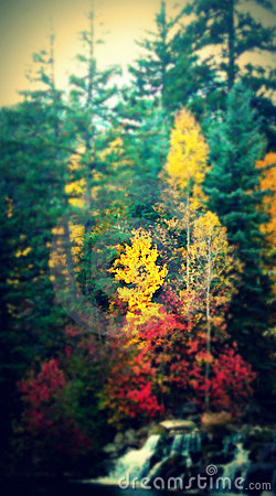 Pine trees autumn
