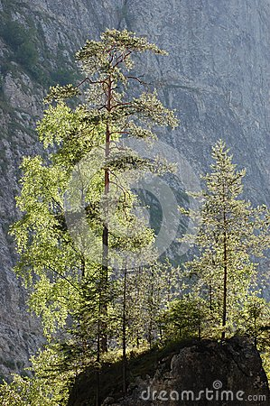 Pine trees on a cliff