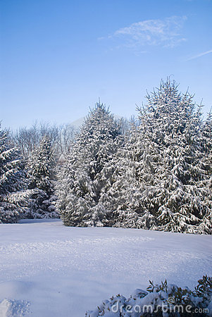 Free Pine Trees Covered In Snow Stock Images - 3873144