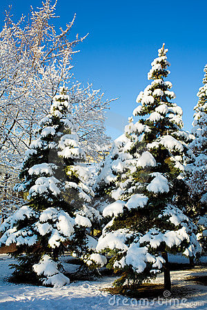 Free Pine Trees Covered In Snow Stock Images - 6701994