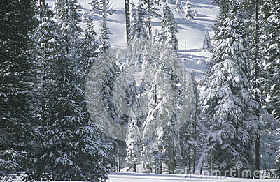 Pine Trees Covered in Snow,