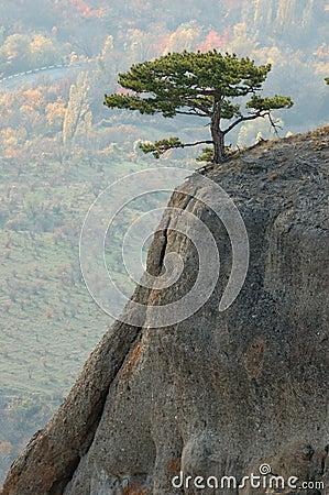 Pine trees at Demirji rocks, Crimea