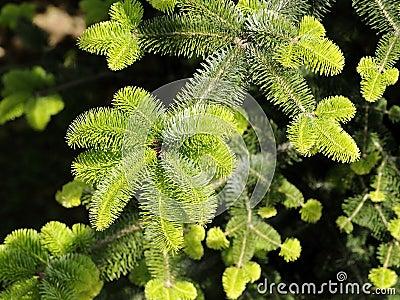 Pine trees detail