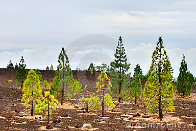 Pine Trees On The Edge Of Teide National Park