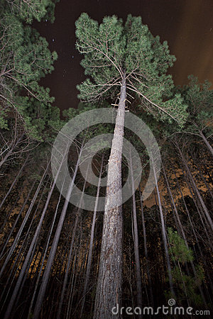 Pine Trees in a Forest at Night