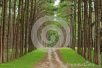 Pine trees form Chiang Mai Thailand