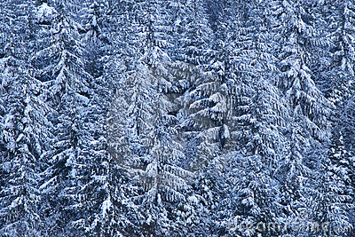 Pine trees laden with snow
