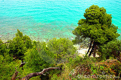 Pine trees near the sea