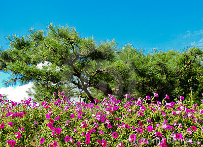 Pine trees with nice violet flowers.