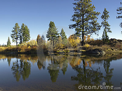 Pine trees on a river