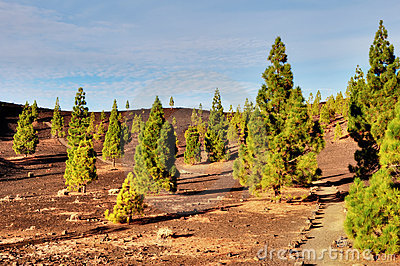 Pine Trees In Teide National Park, Tenerife