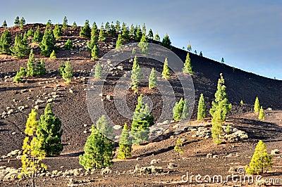 Pine Trees In Teide National Park, Tenerife