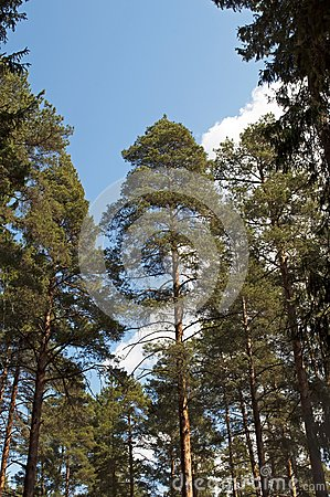 Pine trunks on blue sky background