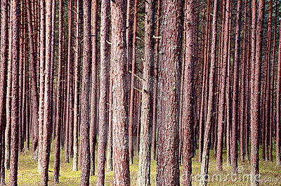 Pine trunks in  forest