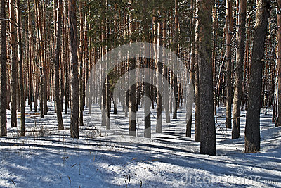 Pine trunks in winter forest