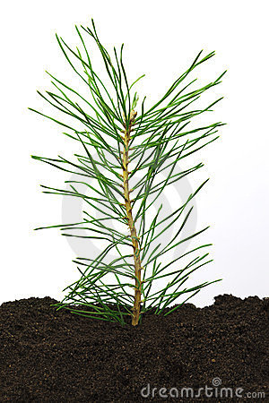 Pine twig in soil
