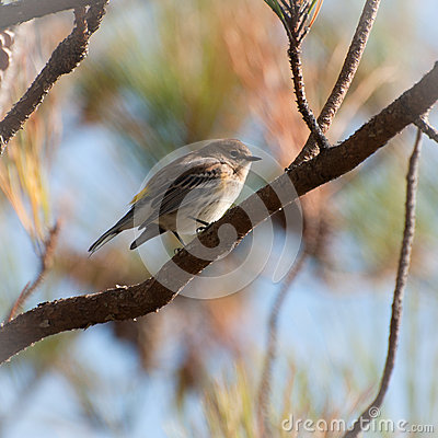Pine warbler on a pine tree