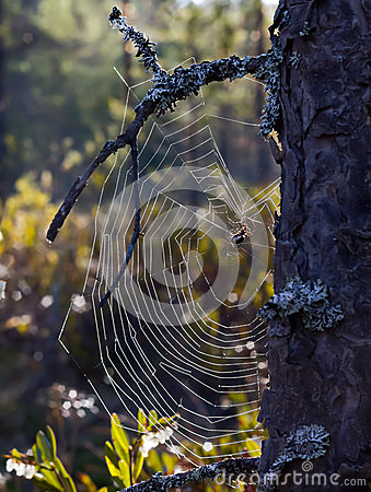Spiderweb attached to a pine tree
