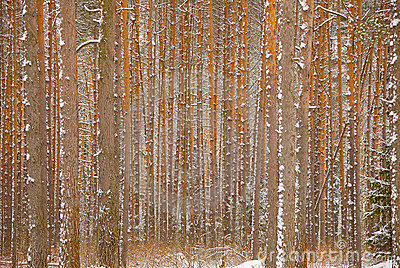 Pine winter forest - trunks of trees