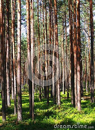Pine wood - Russia