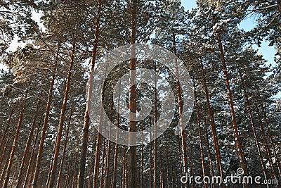 Pine wood in winnter