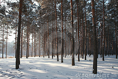 Pine wood in winnter