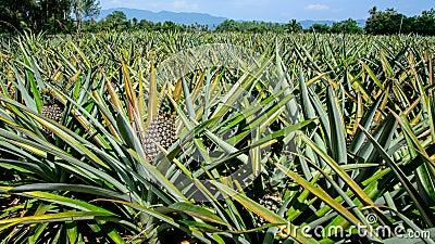 how to grow a pineapple farm