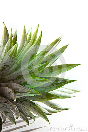 Pineapple leaves on white background