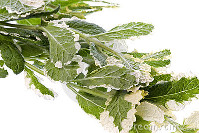 Pineapple Mint Leaves Isolated