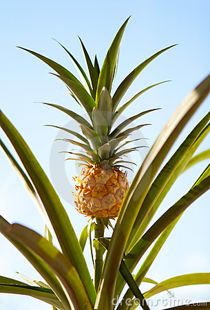 Free Pineapple Plant Royalty Free Stock Photography - 21843837