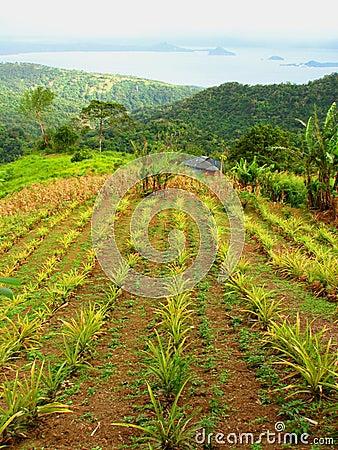 Free Pineapple Plantation Stock Photo - 4340950
